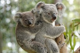 a mother koala with its baby joey - istockphoto - craig dingle4113346298179753400..jpg